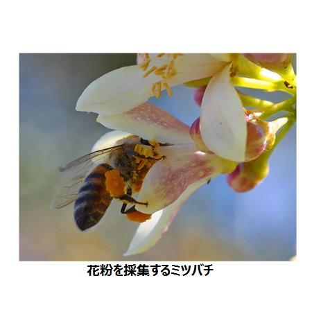 ビーポレンミツバチ